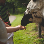 Petting zoo with the llamas.